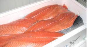 Field trials salmon